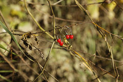 Red berries. Nred berries grow in the forest Stock Photography