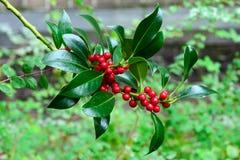 Free Red Berries Of A Pyramidalis Ilex Aquifolium Shrub Among Stock Photography - 167363752