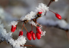 Red Berries Of Berberis With Snow Stock Photography
