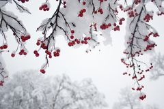 Red Berries On Snowy Branches Stock Photo