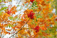 Red berries and orange rowan leaves – a beautiful enlarged view of a tree branch in autumn with bokeh effect. Red ripe berries and rowan orange leaves royalty free stock images
