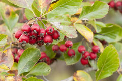Red berries of ornamental bush Royalty Free Stock Image