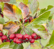 Red berries of ornamental bush Stock Images