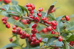 Red berries of ornamental bush Stock Photo