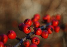 Red berries. Picture of the red berries Stock Images