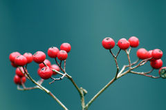 Red berries on plant. Closeup of ripe red berries on plant with blue background Royalty Free Stock Photo