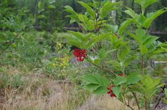 Red berries on a plant royalty free stock images