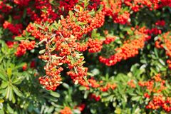 Red berries plant Royalty Free Stock Photography
