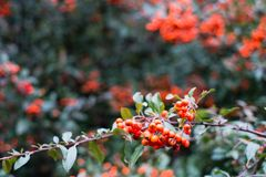 Red berries of pyracantha coccinea in autumn. Red berries of pyracantha coccinea stock image