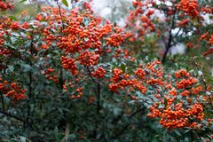 Red berries of pyracantha coccinea in summer. Red berries of pyracantha coccinea stock images