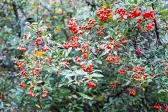 Red berries of pyracantha coccinea in summer. Red berries of pyracantha coccinea stock photography
