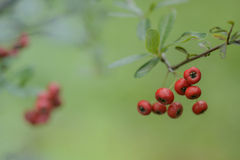 Red  berries of pyracantha (firethorn) Stock Photos