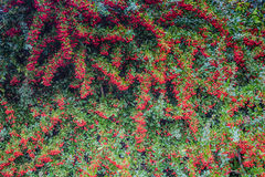 The red berries of pyracantha shrub Royalty Free Stock Photo