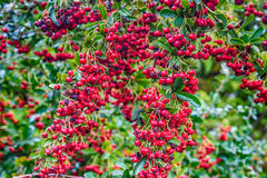 The red berries of pyracantha shrub Stock Image