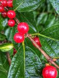 Red Berries after a rain Royalty Free Stock Images