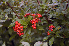 Red berries in the rain. Red berries on a thorn bush in the rain royalty free stock photos