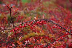 Red berries and raindrops. Colors of Autumn - red berries and raindrops Stock Image