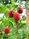 Red berries of raspberry Royalty Free Stock Image