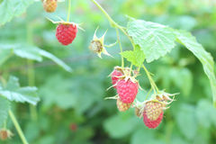 Red berries of raspberry Stock Images