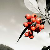 Red berries. Against grey background royalty free stock photos