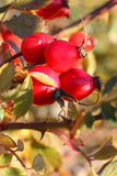 Red berries; rosa canina Royalty Free Stock Images