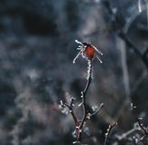 The red berries of rose hips. Autumn frost royalty free stock photography