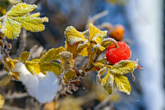 Red berries of rose hips in the frost. Close-up of red berries of rose hips covered by the first rime frost at autumn morning Royalty Free Stock Image