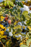 Red berries of rose hips in the frost Stock Photos