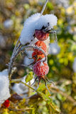 Red berries of rose hips in the frost Royalty Free Stock Photo