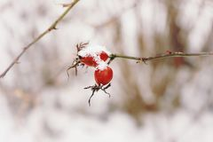 Rosehip red berrys branch bush close-up nature garden snow winter cold weather blur background. Red berries rosehip snow winter nature close-up blur background Stock Photo