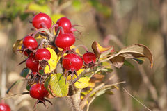 Red berries or rosehips on dog-rose rosa canina. Close up of rose-hips (red berries) on a dog rose plant (rosa canina) on a sunny autumn day Royalty Free Stock Photos