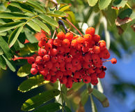 Red berries of the rowan ash_7. On a branch of a tree bunch of red berries of rowan ash and green leaves Stock Image