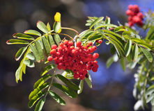 Red berries of the rowan ash_6. On a branch of a tree bunch of red berries of rowan ash and green leaves Stock Photo