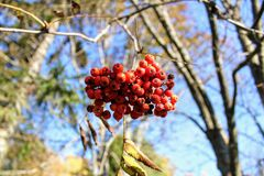 Red berries of rowan growing on the branches of a tree Stock Image
