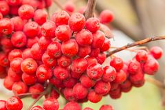 Red berries rowan of Russian ashberry on a tree close-up.  Royalty Free Stock Image