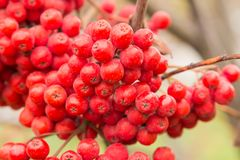 Red berries rowan of Russian ashberry on a tree close-up.  Stock Image