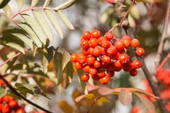 Red berries rowan of Russian ashberry on a tree close-up.  Stock Photography