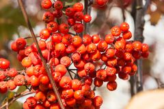 Red berries rowan of Russian ashberry on a tree close-up.  Royalty Free Stock Photography