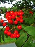 Red Berries on Rowan Tree Stock Photos