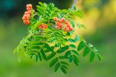 Red berries on rowan tree. Close up bright rowan berries on a tree Royalty Free Stock Image