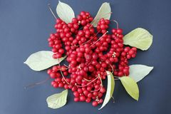 Red berries of schisandra. Branch of red ripe schisandra with leaves lay on the blue background stock photography