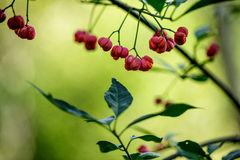 Red Berries on Shrub Royalty Free Stock Photo