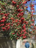 Red berries sit in the sun in the middle of Savannah, Georgia. Savannah, a coastal Georgia city, is separated from South Carolina by the Savannah River. It royalty free stock images