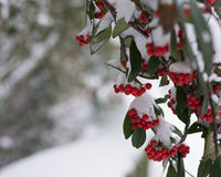 Red berries with snow Stock Images