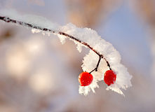 Red berries in snow Stock Photos
