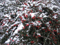 Red berries with snow. Red berries with fresh snow Stock Images