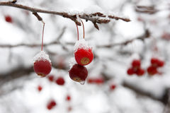 Red Berries in the Snow Royalty Free Stock Photos