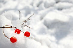 Red berries on the snow. Three Red berries of the arrowwood are lying on the snow Stock Photos