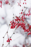 Red berries on a snow branch Royalty Free Stock Photo