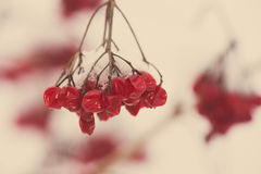 Red berries in the snow with frost - aged photo Royalty Free Stock Photos
